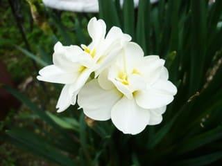 八重房咲き芳香スイセン