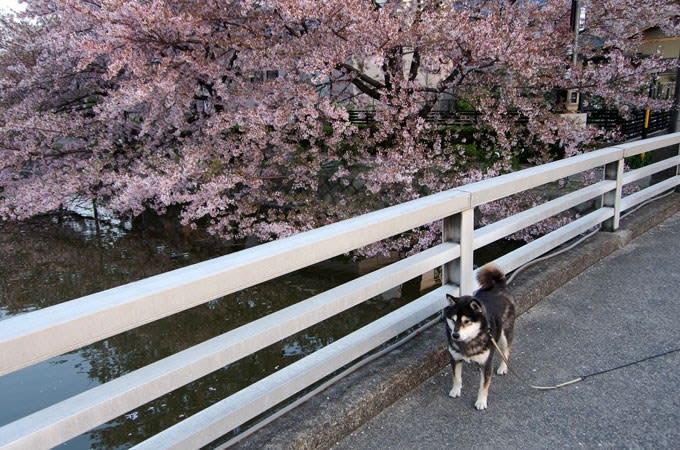 お濠の桜と黒柴