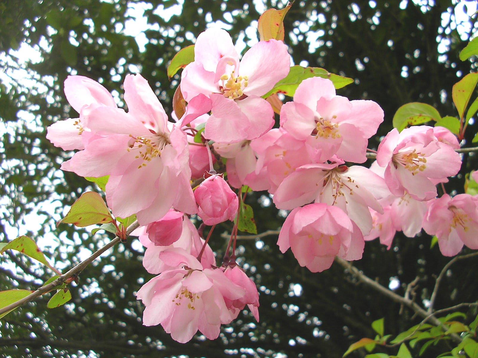 シュウカイドウ(秋海棠)の花言葉・英語・種類別花 …