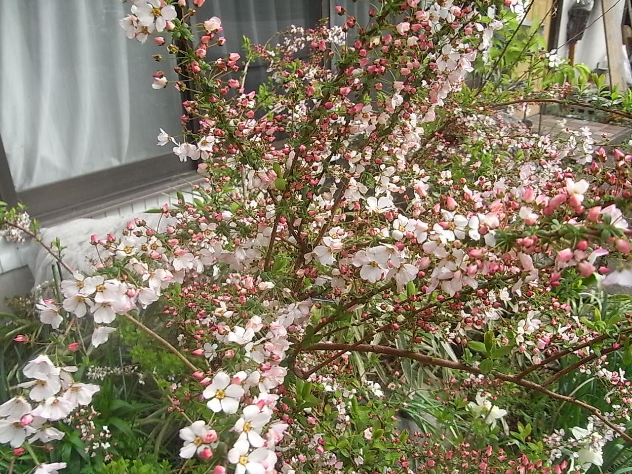 春の嵐も去って・・・ピンクユキ...