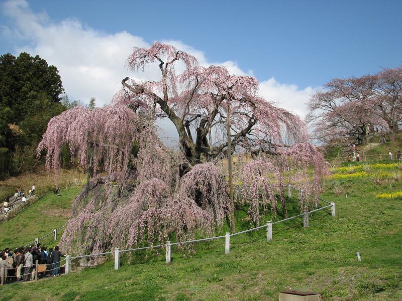 三春滝桜 - 素晴らしい風景!!
