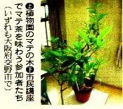 !植物園のマテの木!
