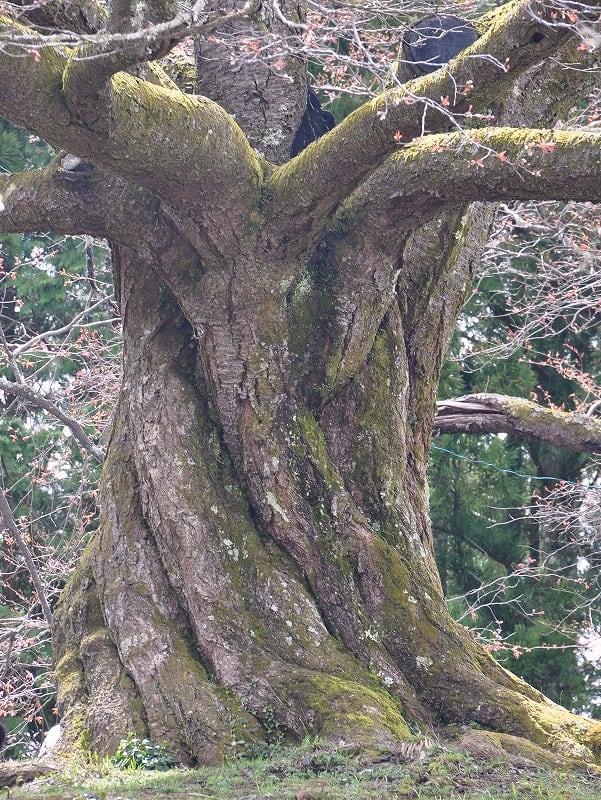 渦巻くような稲荷桜の太い幹