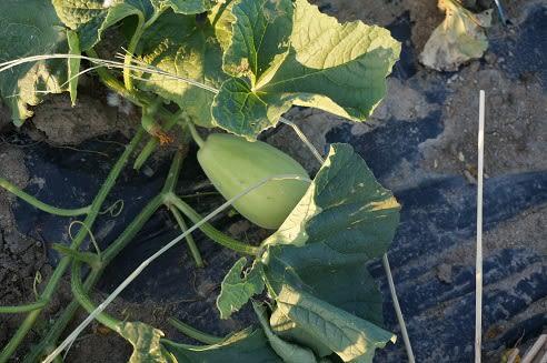 黄な瓜の蔓を整理しました ...