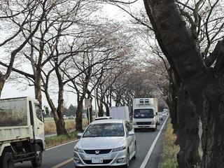 海軍道路の桜並木は、まだまだ ...