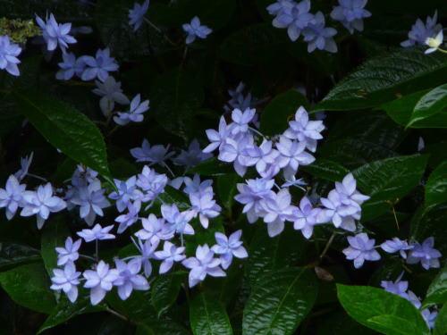 雨に打たれて咲くシチダンカ