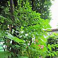 2011-7-1-15 ツル性植物