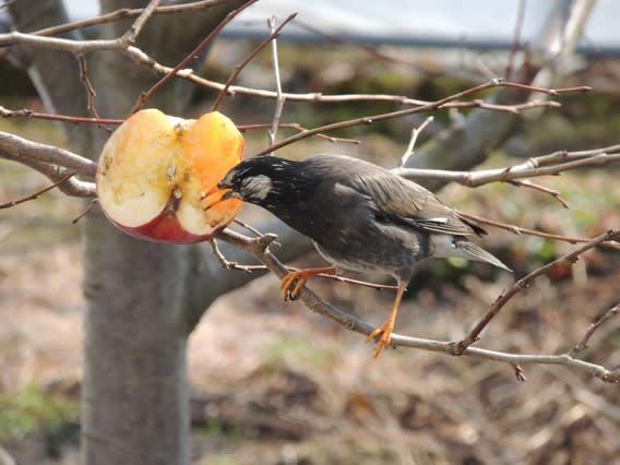 りんごを食べるムクドリ
