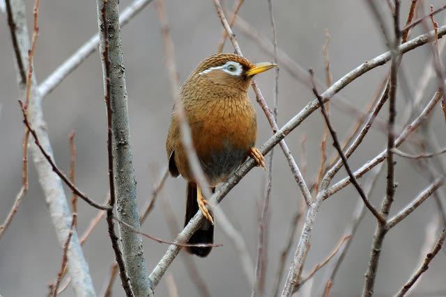 1月5日の「北本自然観察公園」から「ガビチョウ」(外来種)② 1月5日... 野鳥・・・「ガビチ