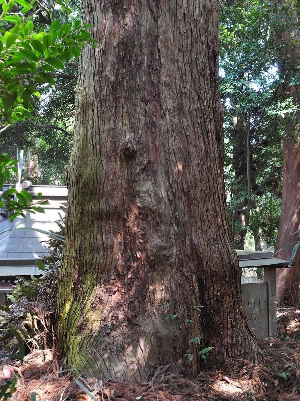 石打八王子神社の杉根元