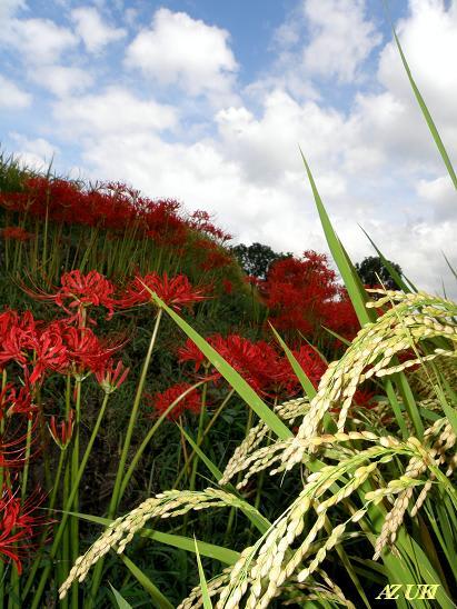 九品寺あたりの彼岸花も凄い。 何年か前までは、真っ赤な海のような彼岸花...  ワンダースター★