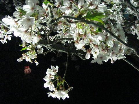 一宮の夜桜