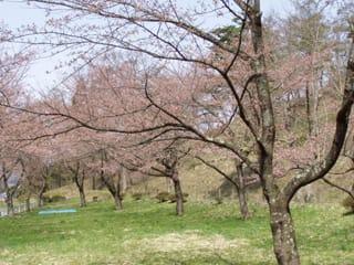 やっと咲き始めた桜の木が