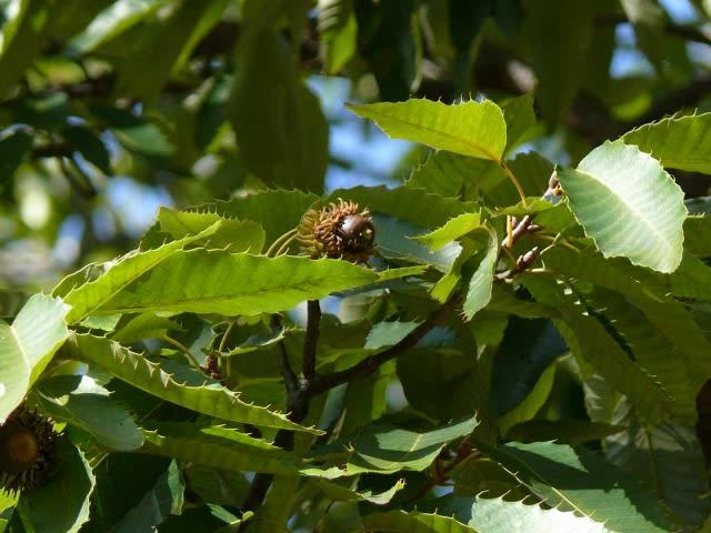 ウバメガシの画像 p1_27