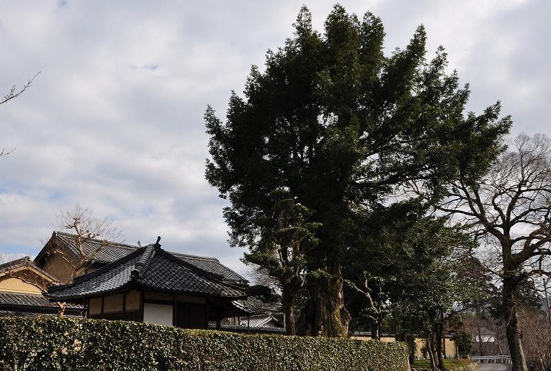 浄土寺と大カヤ