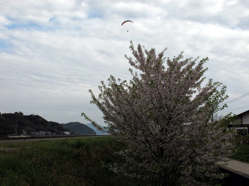 Sumoto_cherry_mankai