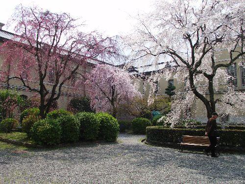 三色のしだれ桜