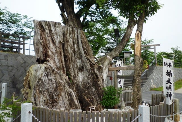 柵で保存された「境楠」のド太い根株