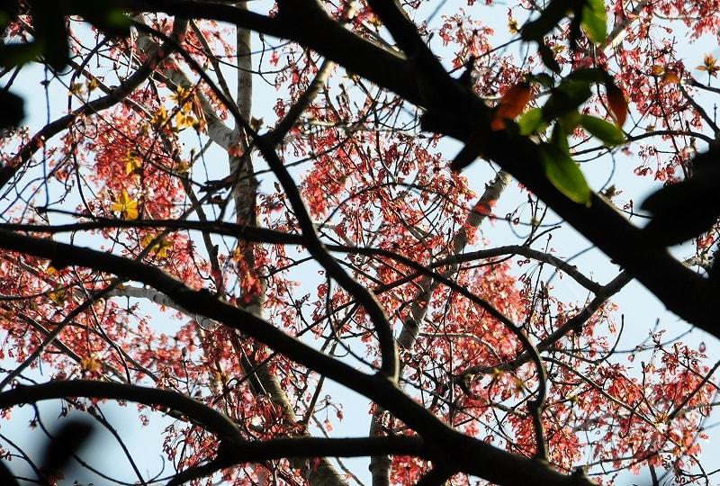 石打八王子神社のハナノ木