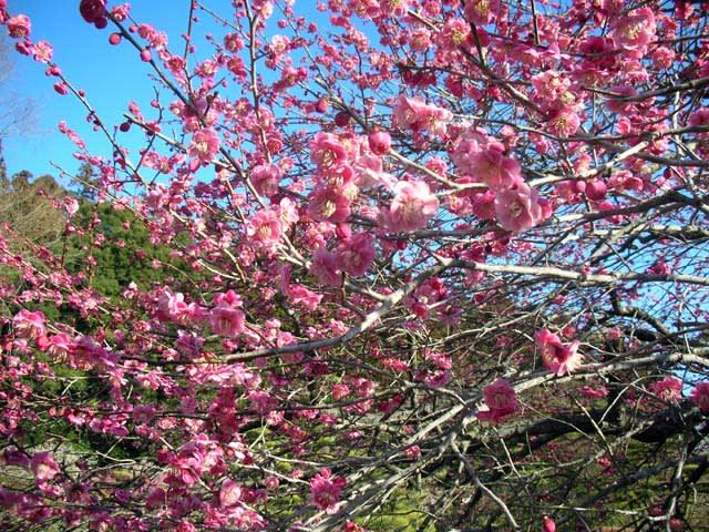 流石に梅でもまだ時期が早いかと思いましたが、早いは早いなりに咲いている... 【水戸プチ旅行記】
