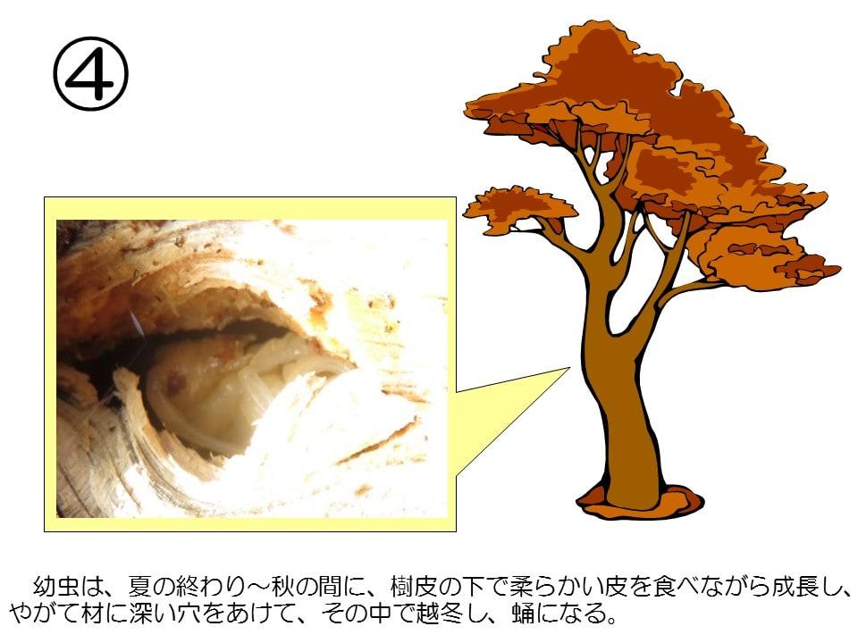 マツの画像 p1_21
