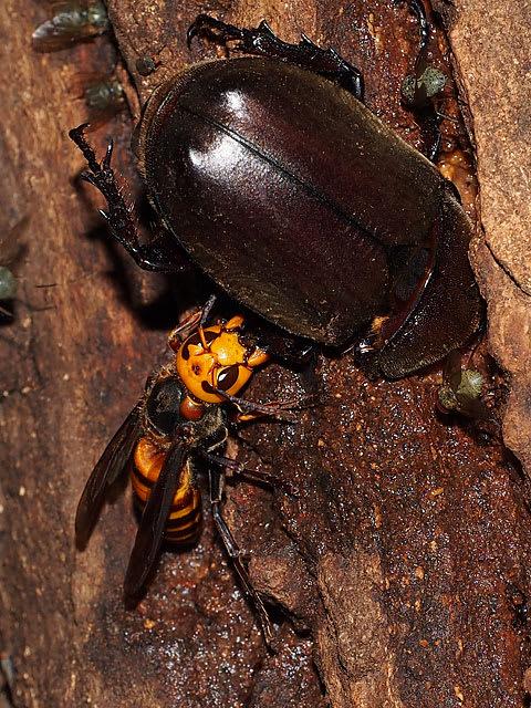 スズメバチをあしらうカブトムシ