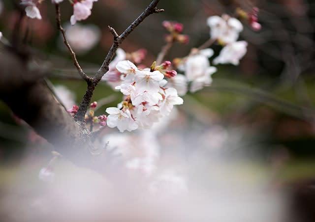 「福岡 舞鶴公園 桜 2017」の画像検索結果