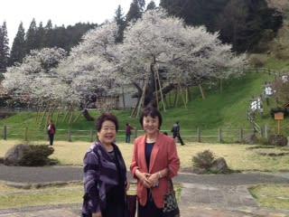 臥龍桜 満開