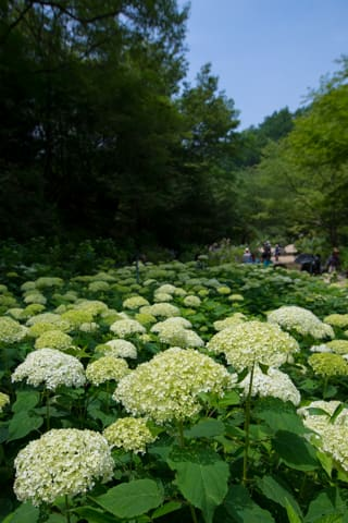 神戸市立森林植物園 森の中のあじさい散策