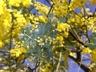 mimoza-goo
