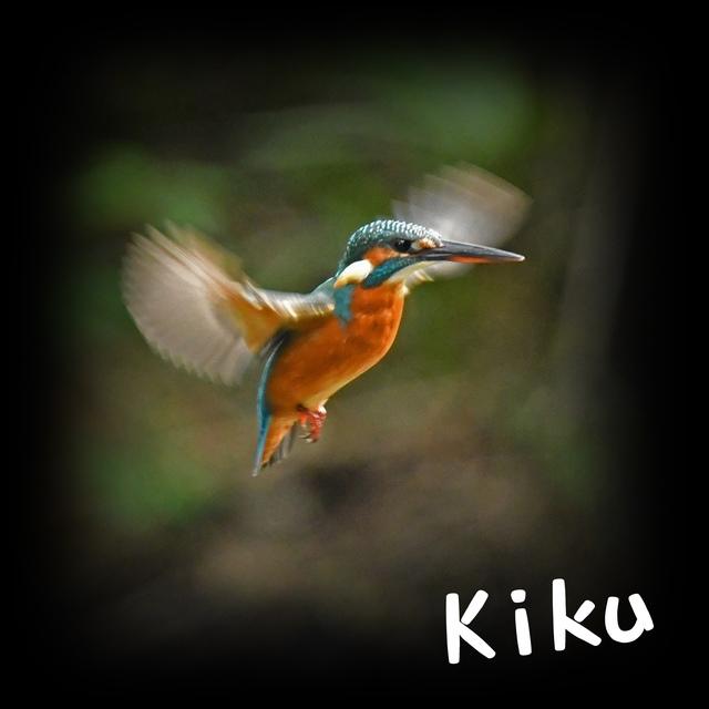 kiku1103_2008