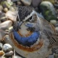 bluethroat758