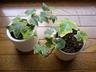 rhodonite-garden