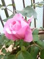 rosemary3310