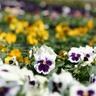 haiflower