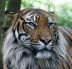 tiger43