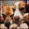 beagles_anmar2
