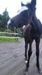 horse_evo