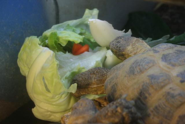 physignathus-cocincincus