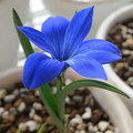 japanflora