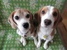 citrus-brother-beagle