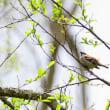 若葉の出た細い枝に、ニュウナイスズメがとまっていた。