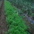 ニンジンの畝間の草抜き。