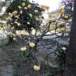 朝の散歩で枝垂れ梅とミツマタを撮る