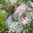 銅葉ヒマニュージーランドパープル発芽/職場の珍客