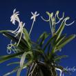 富貴蘭「天霧」の花