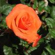 五月晴れ 薔薇