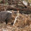 病み上がりでフラフラ散歩する午後・母猫は鋭く鳴く
