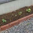 西洋朝顔、日日草、ゴーヤの本植え