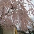 懐古園の桜咲く